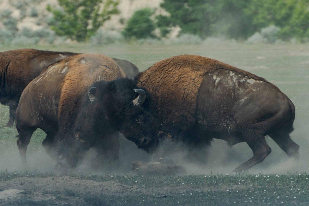 bufalos butting heads